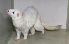 ferrets-owning-2