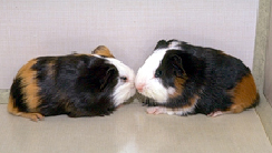 guinea_pigs_-_owning-1