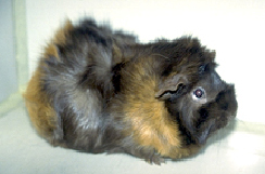 guinea_pigs_-_owning-2