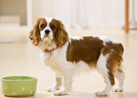 dog_-_with_empty_dish_bowl_no_food