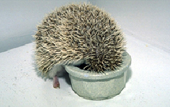 hedgehogs-feeding-1