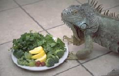 iguanas-feeding-1